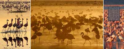 Nakuru Flamingos early Morning